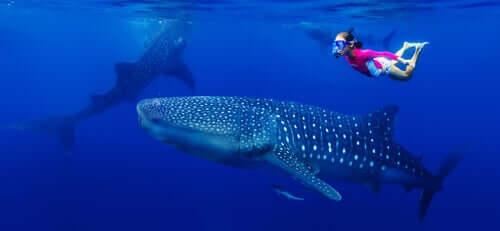 Dados sobre o maior peixe do mundo