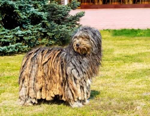 Pastor bergamasco: um cachorro que conduz e cuida de rebanhos