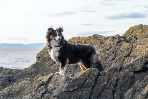 Características e hábitos do pastor de shetland