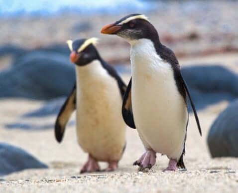 Conheça os pinguins de Fiordland