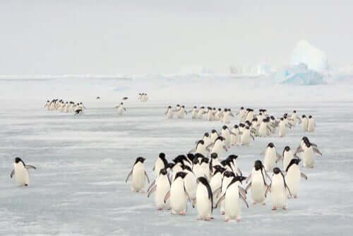 Pinguins correndo risco de extinção