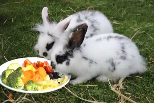 Coelhos comendo vegetais