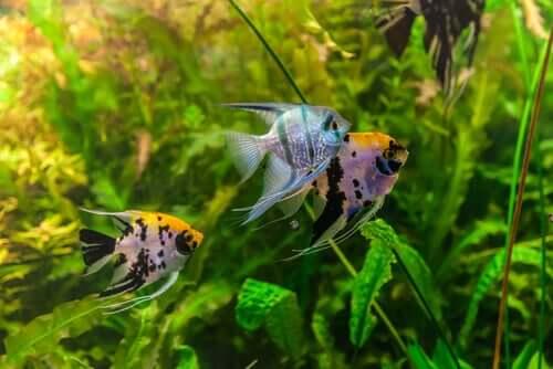 Quanto tempo os peixes de aquário vivem?