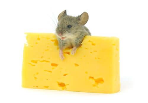 Queijo para roedores