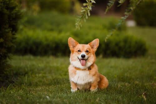 O welsh corgi pembroke é um dos cães pequenos