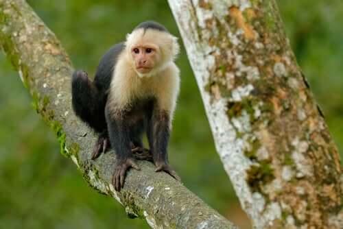 O que são macacos de terapia?