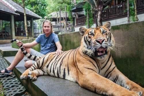 Turista tocando em tigre em santuário falso