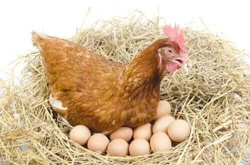 Galinha chocando seus ovos