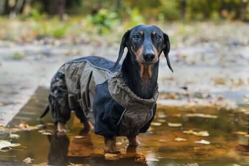Proteger os cachorros com casacos ou capas de chuva