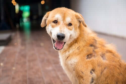 Cachorro com demodicose canina