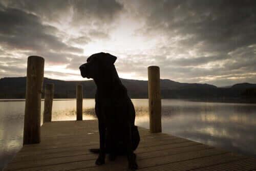 Cão labrador em píer
