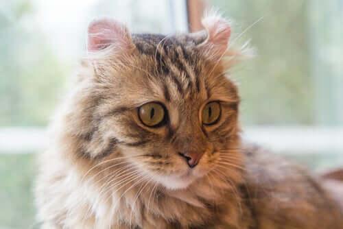 Curl americano: uma das raças de gatos de pelo longo