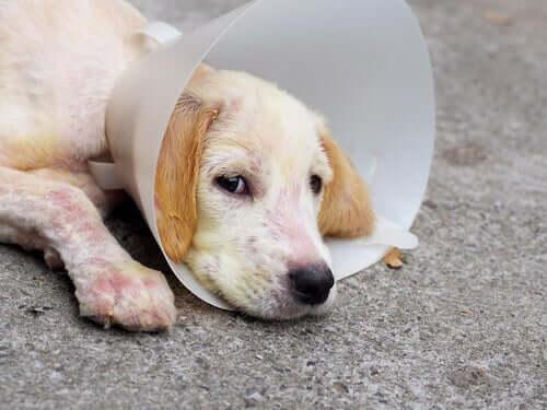 Demodicose canina: sintomas, diagnóstico e tratamento
