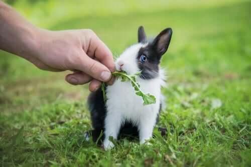 Dieta de um coelho anão filhote
