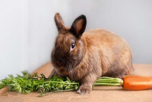 Recomendações para a dieta do coelho anão
