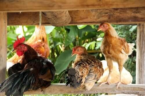 Um galinheiro no jardim