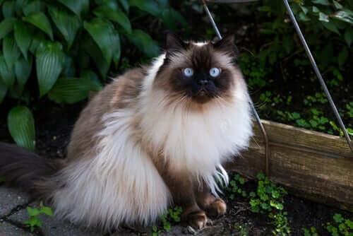 Gato himalaio: uma das raças de gatos de pelo longo