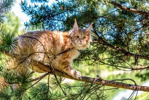 Maine coon: uma das raças de gatos de pelo longo