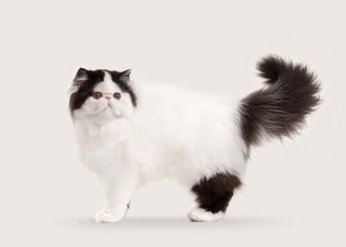 10 raças de gatos de pelo longo