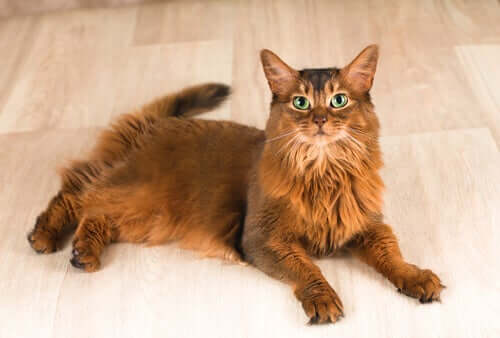 Gato Somali