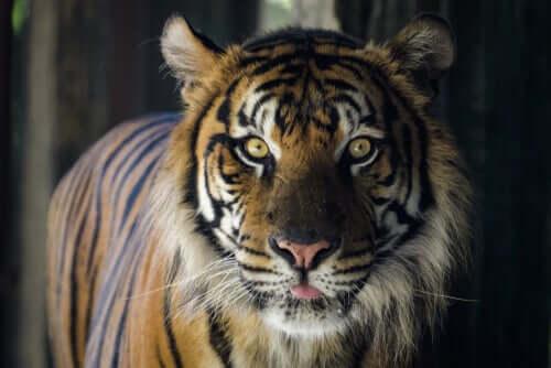 Tigre olhando fixamente para a câmera