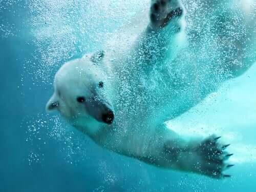 O urso polar é um dos melhores nadadores do reino animal