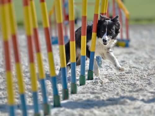 Cachorro praticando agility