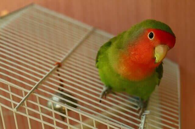 As aves podem se tornar animais de estimação amigáveis
