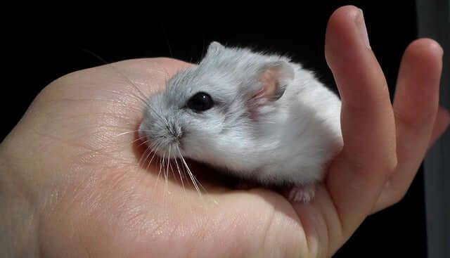 Os roedores são animais de estimação carinhosos