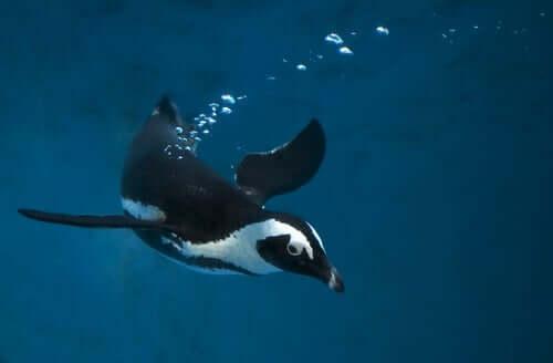 A habilidade para nadar do pinguim