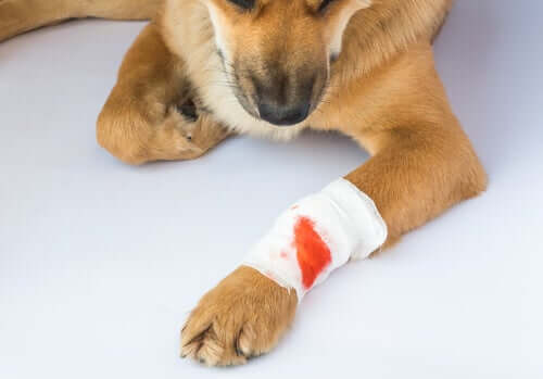 Cachorro com curativo na pata