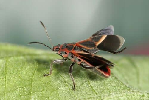 Barbeiro, o transmissor da doença de Chagas