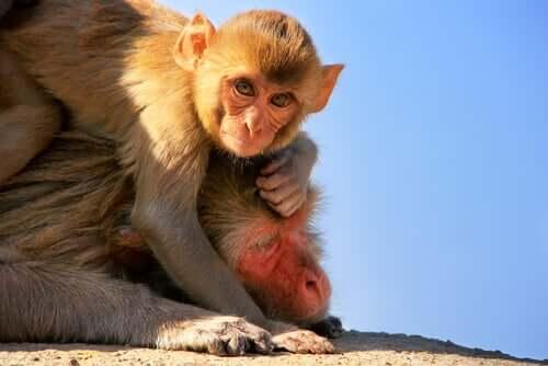 Bebê macaco com sua mãe