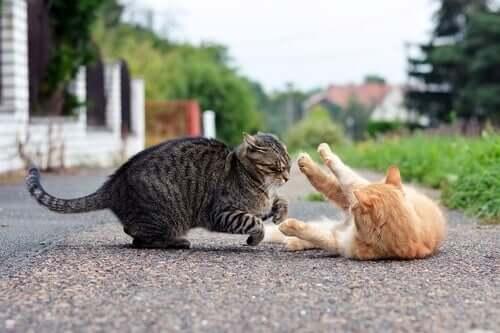 Gatos brigando na rua