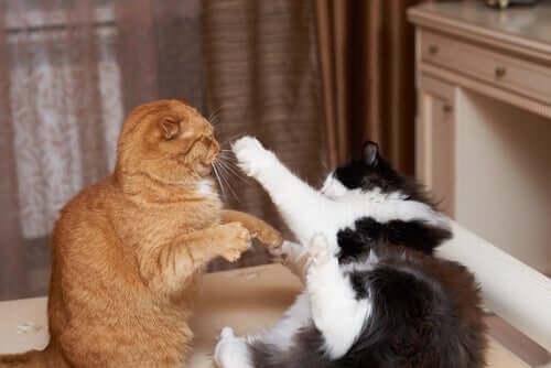 Gatos brigando