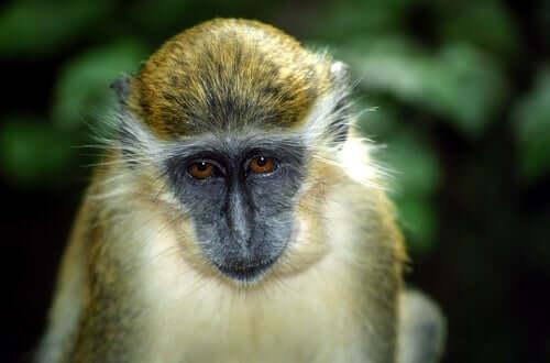 Os macacos-verdes e os drones
