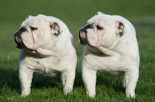 Clonagem de cães