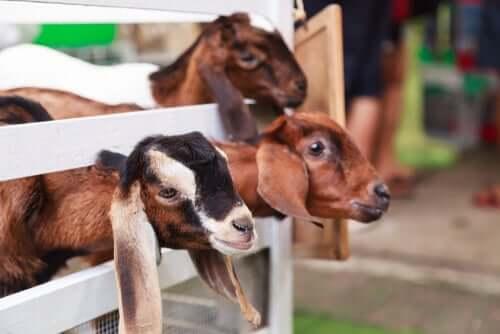 Curral para cabras