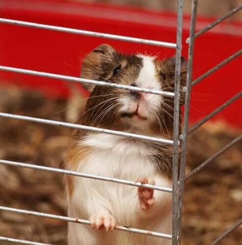 Porquinho-da-índia em gaiola