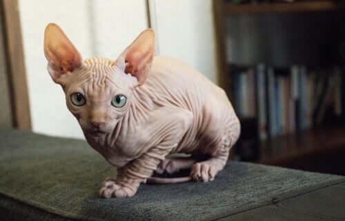 Gato kohana ou gato havaiano sem pelo