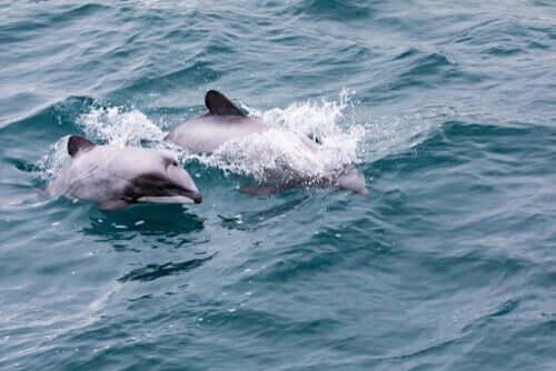 O golfinho-de-hector da Nova Zelândia