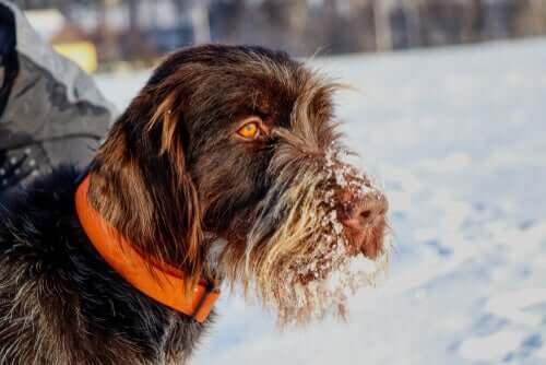 Griffon de caça tcheco na neve
