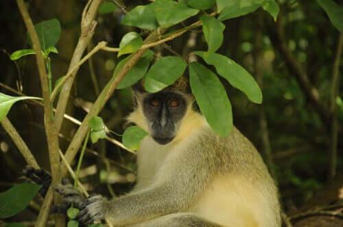 Como os macacos-verdes reagiram aos drones