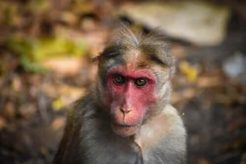 Macaco de rosto vermelho na Índia