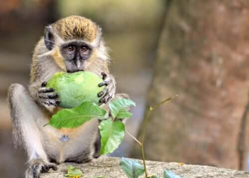 Os macacos-verdes têm alarmes contra drones