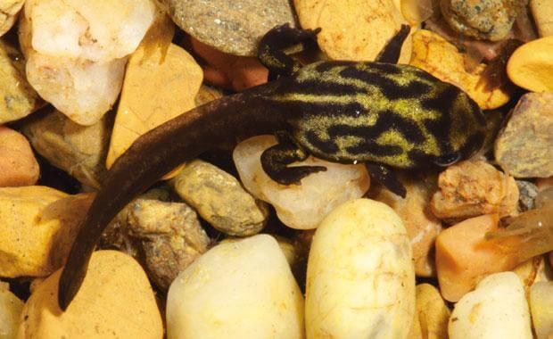 Conservação do sapo-corroboree