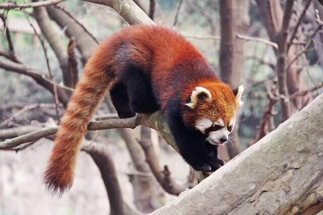 Espécie de panda