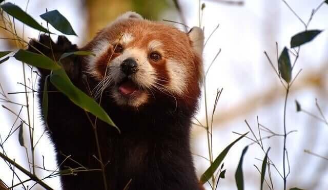Características do panda-vermelho