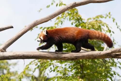 Panda andando em galho de árvore