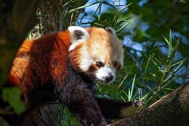 Urso panda-vermelho: comportamento e habitat